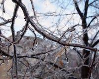 Льдед на ветвях вала Стоковая Фотография