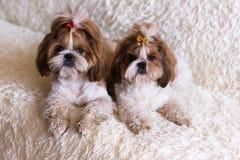 Любимцы собаки tzu shih щенка милые сидя на белой мебели софы стоковые фотографии rf