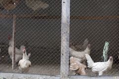 Любимчики фермы курицы цыпленка органические домашние для питания яичек свежего от природы Стоковые Фото