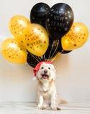 Любимчик в крышке Нового Года с раздувными шариками Раздувает счастливый Новый Год приветствие рождества карточки веселое Собака  Стоковое Фото