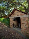 любимчик женщины собаки boerbull boerboel Стоковое фото RF