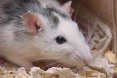 Любимчик дома Rattus крысы Стоковая Фотография