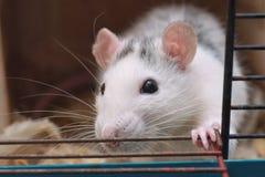 Любимчик дома Rattus крысы Стоковое Фото
