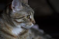 Любимчик, прелестный общий tabby волос кота Стоковые Изображения