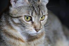 Любимчик, прелестный общий tabby волос кота стоковые фотографии rf