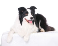 любимчик собаки Коллиы граници Стоковое Изображение RF