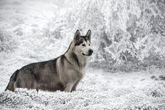 Любимчик, собаки, маламут Стоковые Фото