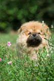 любимчик собаки чау-чау Стоковое фото RF