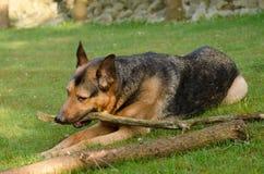 Любимчик собаки Стоковые Изображения RF