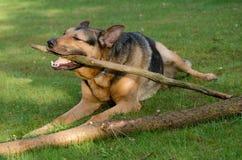 Любимчик собаки Стоковые Фотографии RF