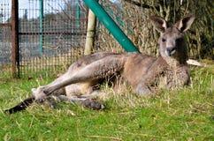 Любимчик фермы зоопарка Австралии wallaby кенгуру животный стоковая фотография rf