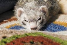 любимчик ferret стоковые фото