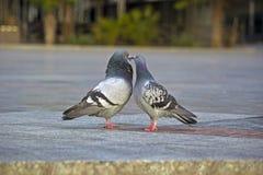 Любимые голуби Стоковые Изображения