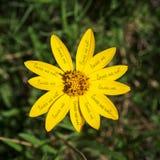 Любит меня желтая концепция цветка маргаритки Стоковое Фото