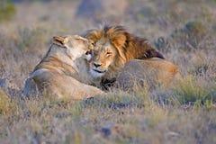любовники льва Стоковое Фото
