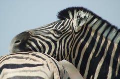 Любовники #3 зебры Стоковые Изображения