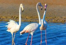 Любовный треугольник розовых фламинго в лагуне моря стоковая фотография