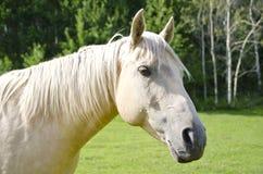 Любознательная белая лошадь Стоковая Фотография