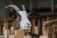 Любознательная коза в сарае козы Стоковые Фотографии RF