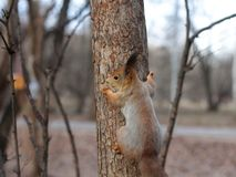 Любознательная красная белка peeking за стволом дерева стоковое изображение