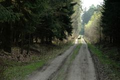 Любознательная лань 2 на пути леса Стоковые Изображения RF