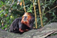любознательная маленькая смотря обезьяна Стоковые Фотографии RF
