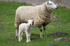 любознательная овечка немногая Стоковые Фотографии RF