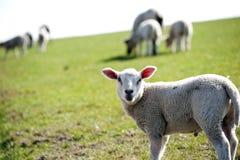любознательная овечка Стоковая Фотография