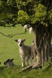 любознательная овечка стоковое изображение