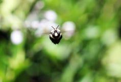 Любознательная пчела Стоковое Изображение