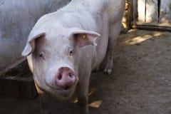 любознательная свинья Стоковое Изображение