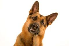 любознательная собака Стоковая Фотография