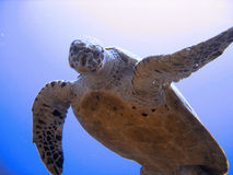 любознательная угрожаемая черепаха моря hawksbill Стоковая Фотография RF