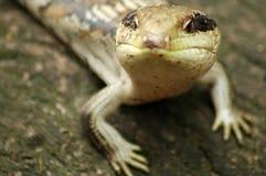 любознательная ящерица Стоковая Фотография