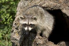 любознательние детеныши racoon Стоковые Фото