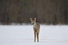 любознательние козули оленей Стоковое Изображение