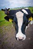 Любознательние коровы Стоковое Фото