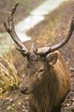 любознательние олени тинные Стоковое Изображение