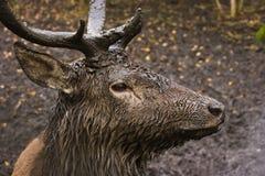 любознательние олени тинные Стоковые Изображения RF