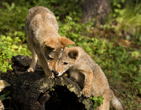 Любознательние щенята койота Стоковое Изображение RF