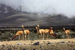 любознательние guanacos Стоковая Фотография