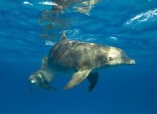 любознательний запятнанный дельфин Стоковые Фотографии RF