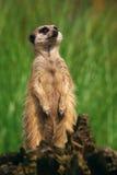 любознательний портрет meerkat Стоковое Изображение RF