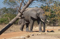 любознательний слон Стоковое Фото