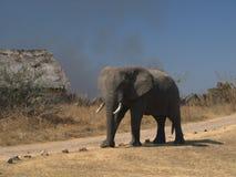 любознательний слон Стоковые Фото