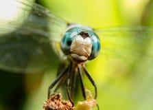 любознательний dragonfly стоковые фотографии rf
