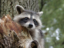 любознательний raccoon Стоковая Фотография