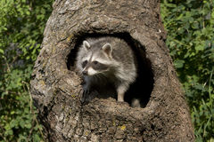 любознательний racoon Стоковые Изображения RF