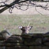 Любознательное животное оленей Стоковое Фото