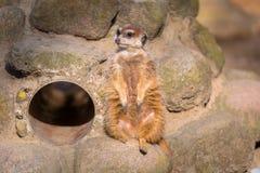 Любознательное meerkat сидя на утесе Стоковое Изображение